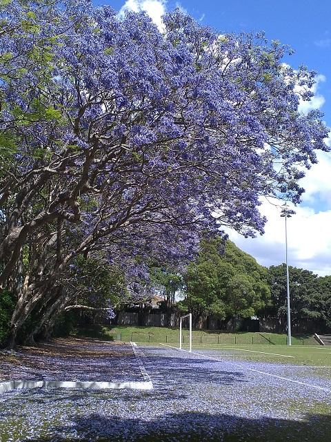 散り落ちた紫の花びらの絨毯