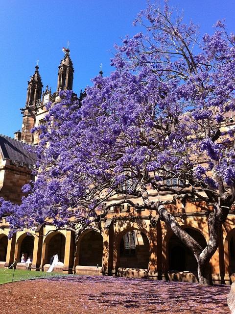 シドニー大学構内のジャガランダ