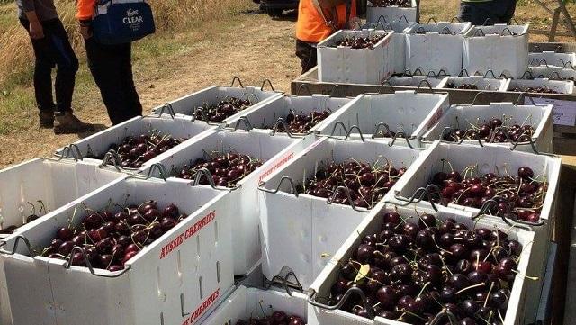 Tasmania Cherry Farm