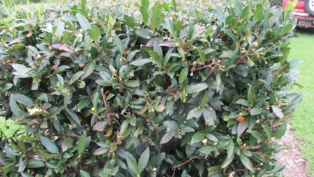 オーストラリア 緑茶 農場