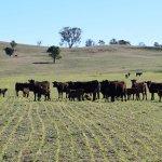 オーストラリア畜産農家 和牛ファーム